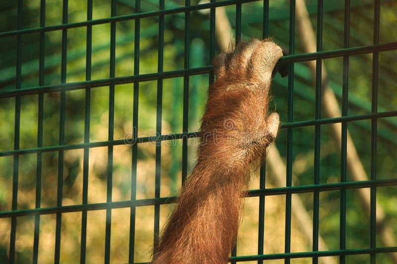 Main d'orang-outan photo libre de droits