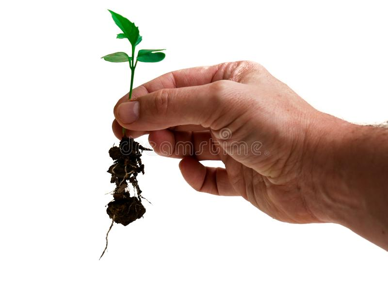 Main d'un homme caucasien tenant toujours soigneusement une jeune plante d'un arbre de trompette rose avec la saleté sur les raci images stock