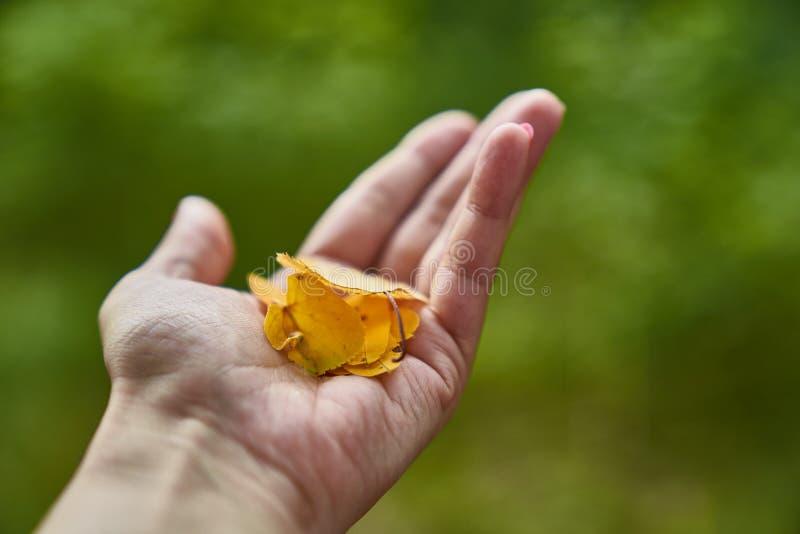 Main d'une femme tenant une poignée de feuilles d'automne jaunes image libre de droits