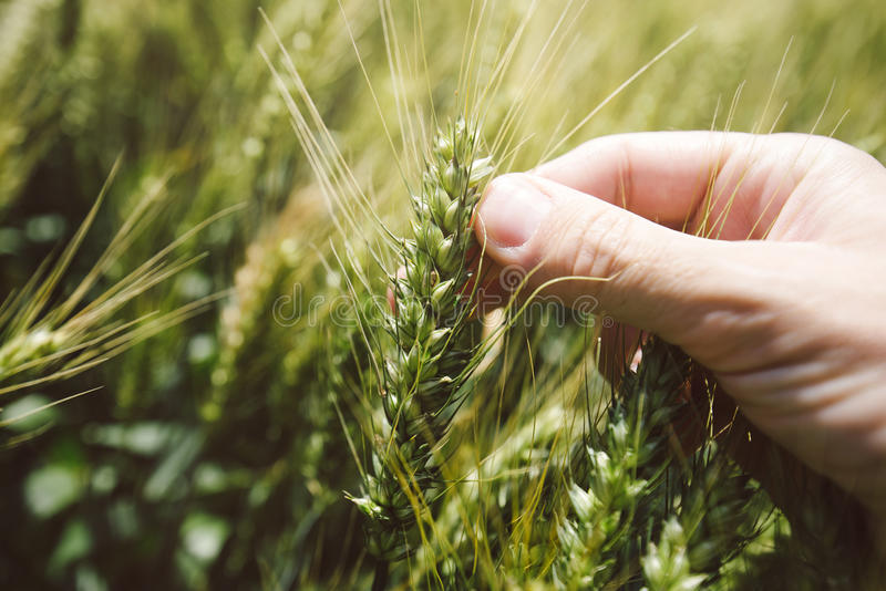 Main dans le domaine de blé image libre de droits