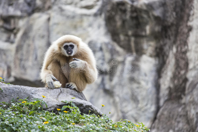 Main de blanc de Gibbon photographie stock