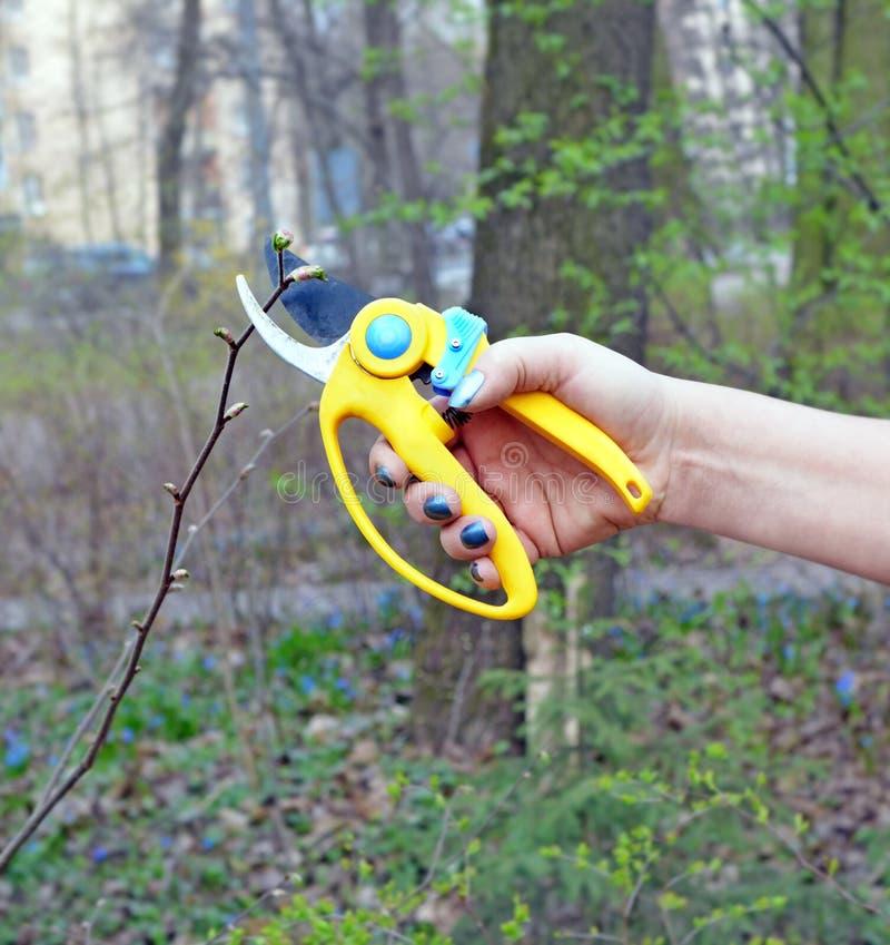 Main de buisson d'élagage de femme avec des cisaillements photographie stock libre de droits