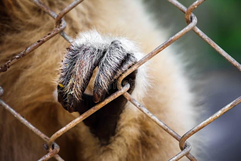 main de cage étant perché de gibbon images stock