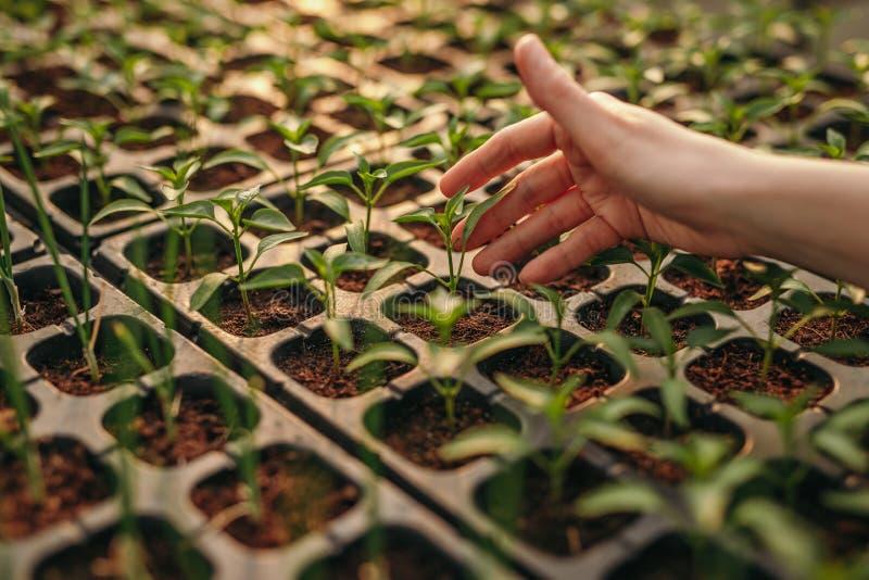 Main de culture touchant des jeunes plantes à la ferme de culture hydroponique photo stock