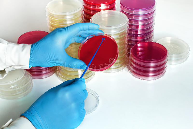 Main de docteur faisant une culture d'urine dans une boîte de Pétri photographie stock libre de droits