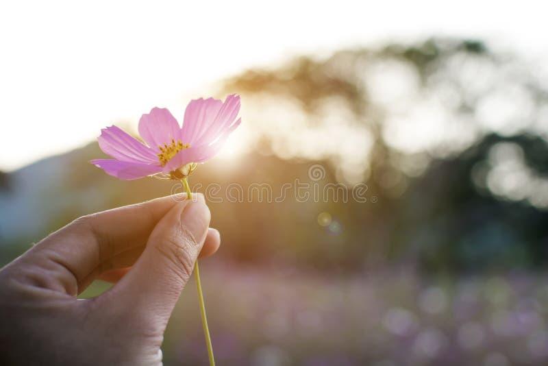 Main de femme tenant la belle fleur pourpre de cosmos dans le bokeh rétro-éclairé de lever de soleil de l'arbre photographie stock