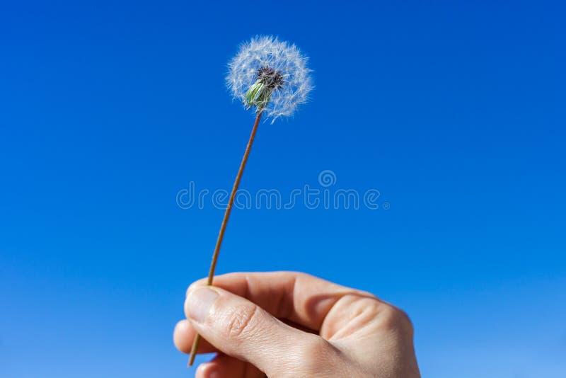 Main de femme tenant le fleuron de pissenlit contre un ciel bleu lumineux photo stock