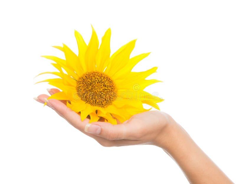 Main de femme tenant le soleil jaune de tournesol photographie stock libre de droits