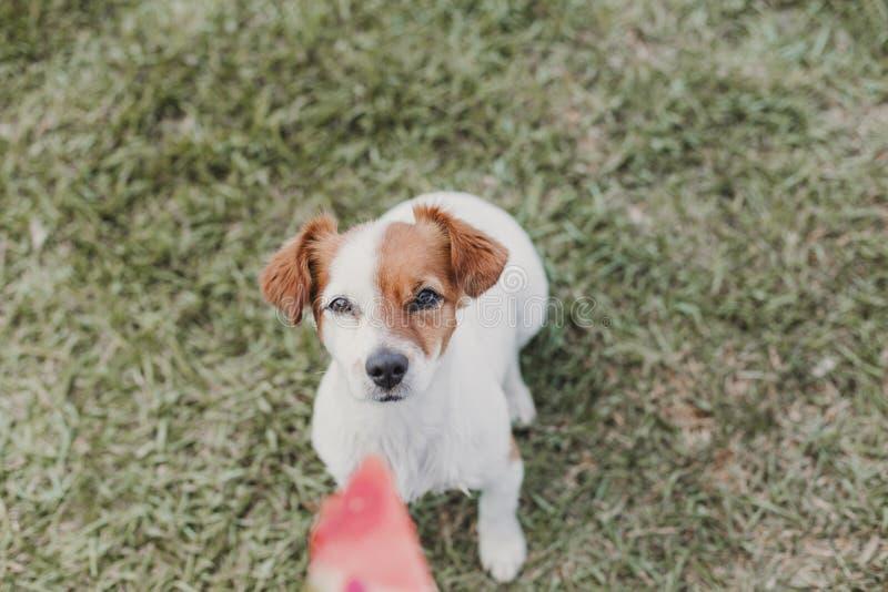 Main de femme tenant un morceau de pastèque de fruit petit chien mignon regardant la nourriture outdoors photographie stock