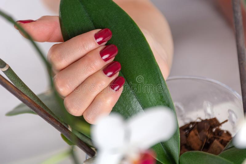 Main de fille avec la couleur rouge foncé de manucure tenant la feuille verte image stock