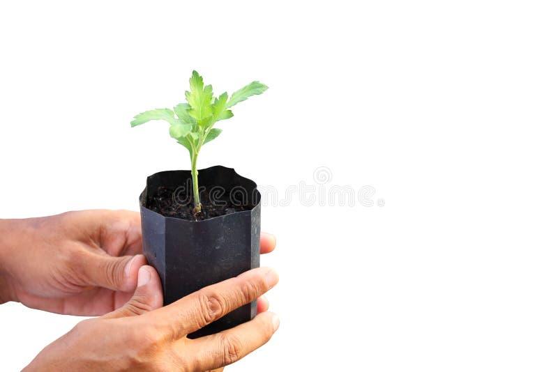 Main de jardinier tenant la jeune jeune plante de l'usine dans le conteneur sur le fond blanc pour l'agriculture, le jardinage et photos stock