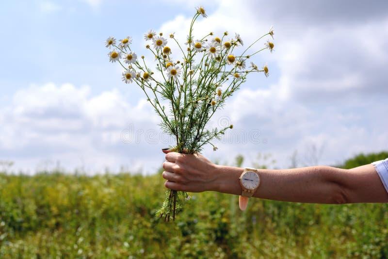 Main du ` s de femmes tenant un petit bouquet mince des marguerites sur un fond de clairière verte image libre de droits