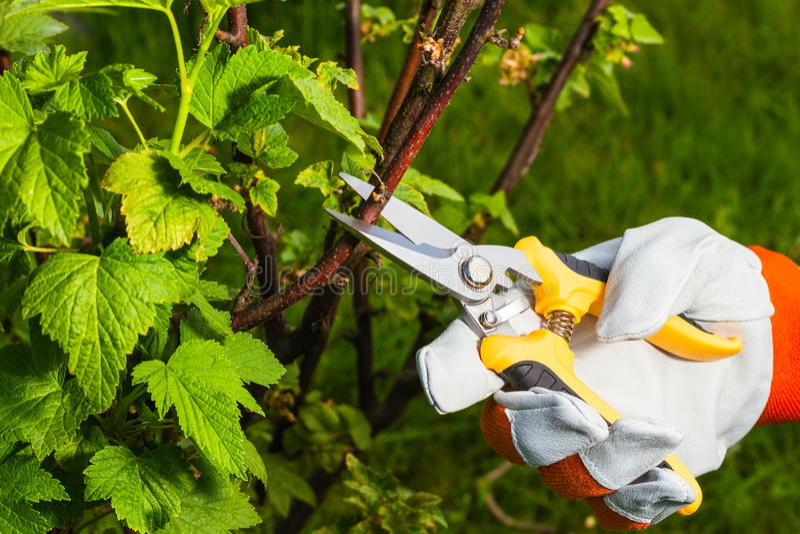 Main du ` s de jardinier avec des ciseaux d'élagage image libre de droits