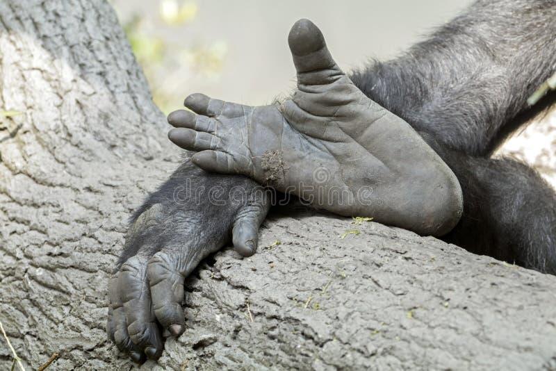 Main et pieds de gorille photo libre de droits