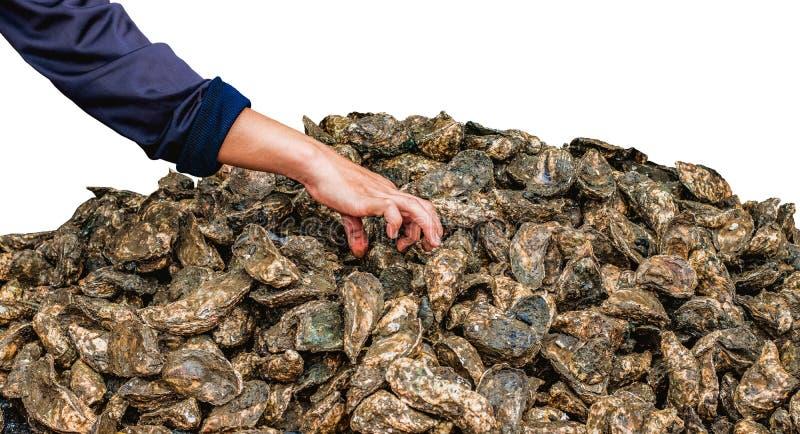 Main et un groupe d'huîtres photos stock