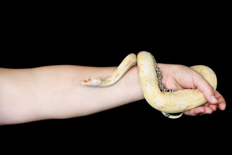 Main féminine avec serpent Une femme tient le serpent albino Boa constrictor en main avec des bijoux Reptile exotique à sang froi image stock