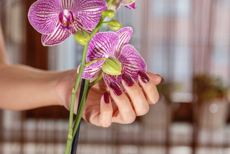Main femelle avec le vernis à ongles de couleur du vin et la fleur pourpre d'orchidée photo libre de droits