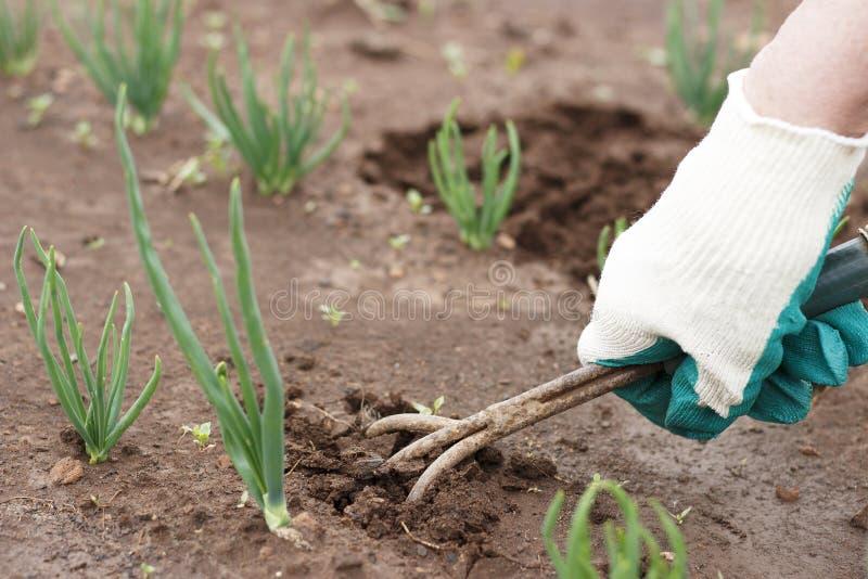 Main femelle dans un gant fonctionnant détachant un lit d'outil de jardin images stock