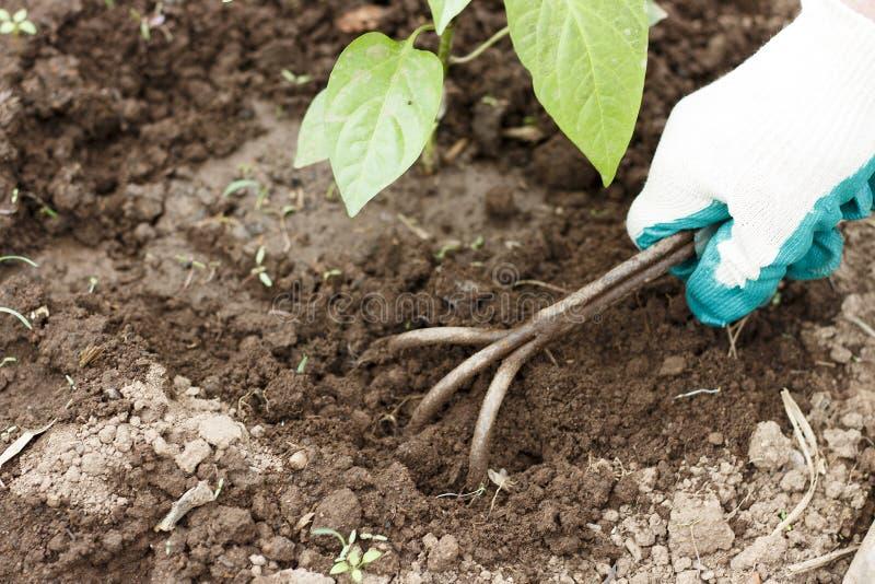 Main femelle dans un gant fonctionnant détachant un lit des outils de jardin images libres de droits