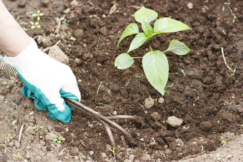 Main femelle dans un gant fonctionnant détachant un lit des outils de jardin images stock
