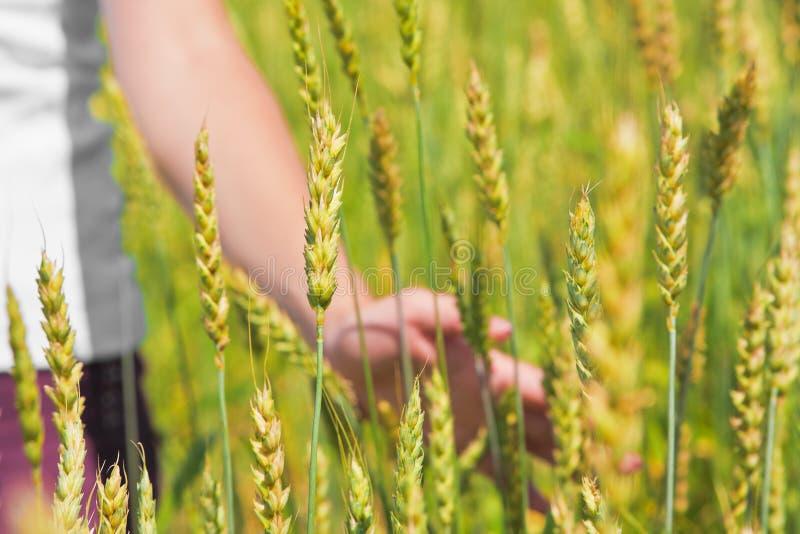 Main femelle et déchirure des oreilles de blé image stock