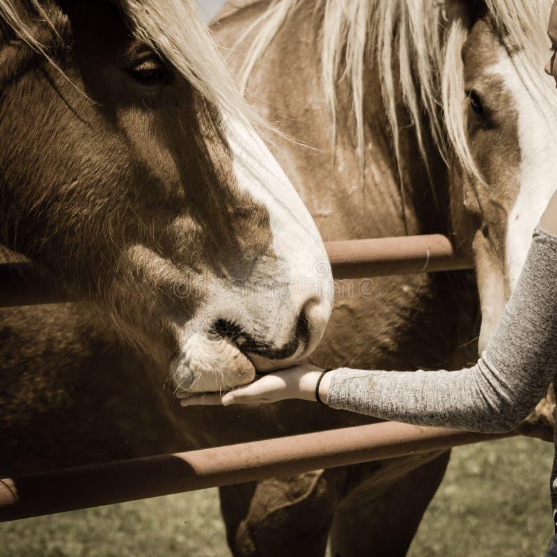 Main femelle filtrée d'image alimentant le cheval lourd belge à la ferme dans le Texas du nord, Amérique image stock