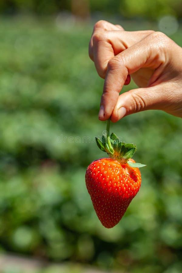 Main femelle tenant la fraise mûre photo stock