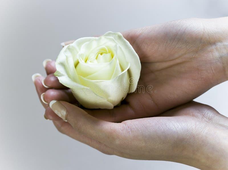 Main femelle tenant une rose de floraison de blanc photographie stock libre de droits
