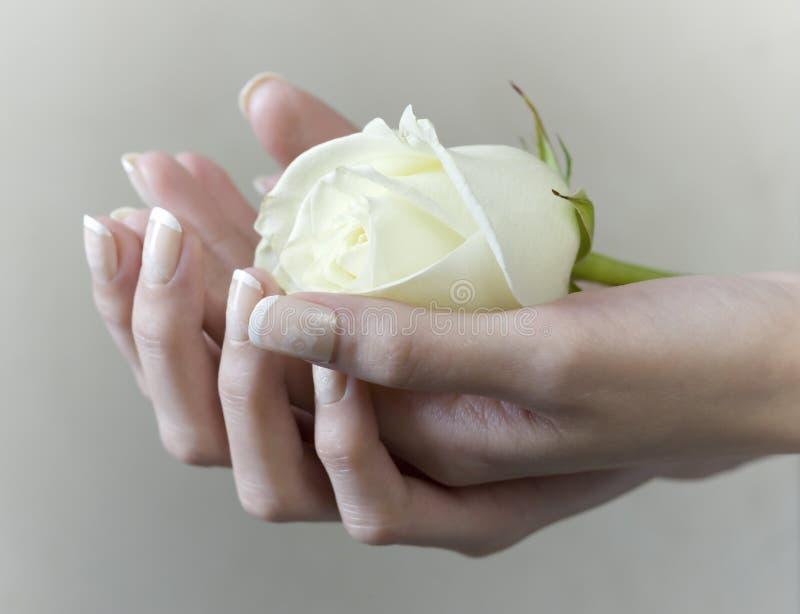 Main femelle tenant une rose de floraison de blanc image stock