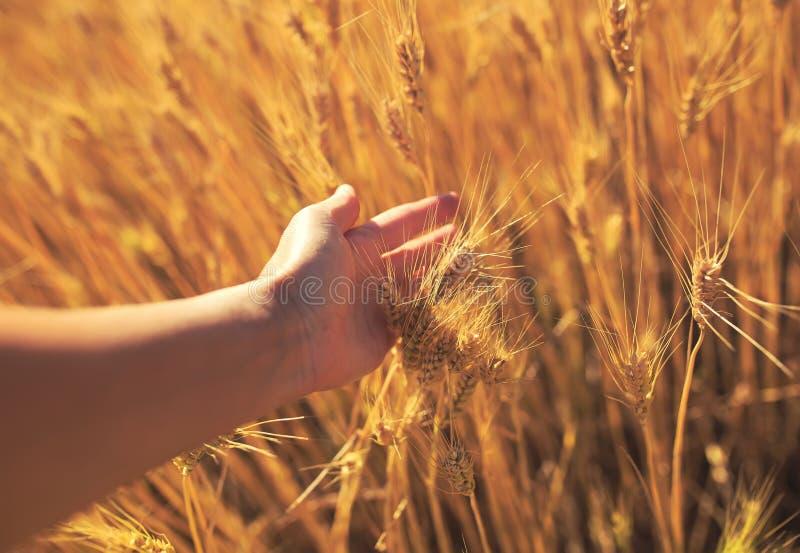 Main frottant les belles oreilles d'or du blé mûres un jour ensoleillé d'été chaud sur un champ de ferme photos stock