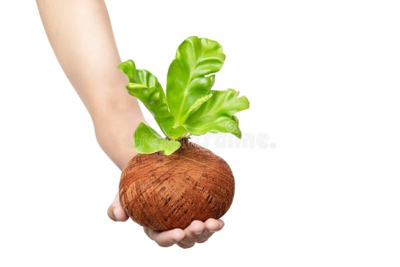 Main humaine tenant la jeune plante verte sur les pots photos stock