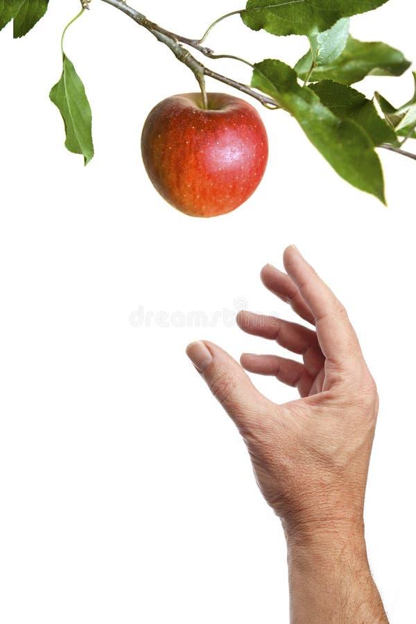 Main masculine atteignant pour une pomme sur une branche photo libre de droits
