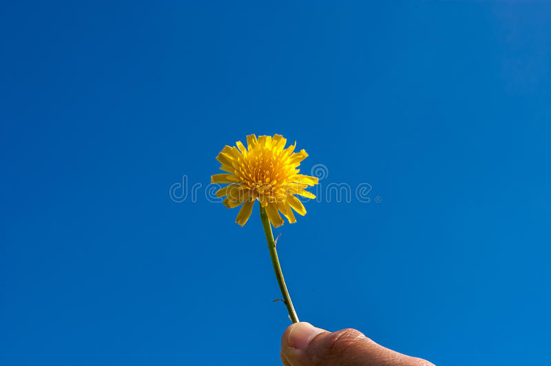Main masculine avec le pissenlit sur le fond de ciel bleu photos libres de droits