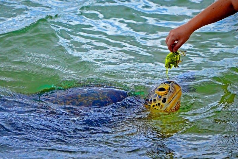 Main masculine noire et grande tortue dans l'eau dans le projet de recherche de conservation de tortues de mer dans Bentota image libre de droits
