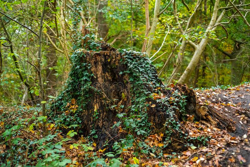 Main motive are old trees and tree stumps. In Germany royalty free stock images