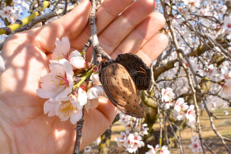 main ouverte montrant une amande moissonnée avec une branche d'arbre d'amande avec quelques fleurs blanches à l'extrémité dans un image libre de droits