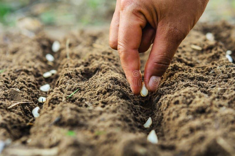 Main plantant la graine de citrouille de la moelle /courgette photographie stock libre de droits
