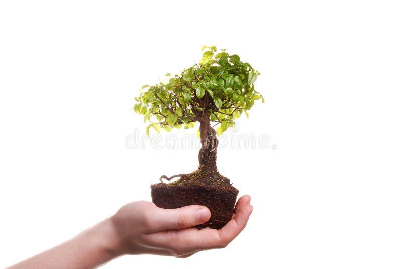 Main retenant un arbre de bonzaies photos stock