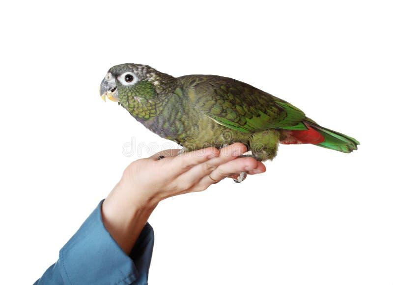 Main retenant un perroquet de pionus images libres de droits