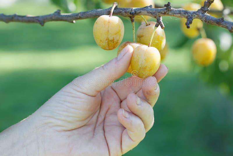 Download Main Sélectionnant La Prune Jaune De L'arbre Image stock - Image du doigts, feuillage: 77152593
