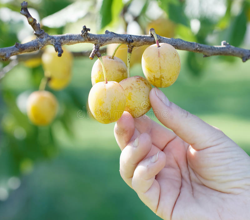 Download Main Sélectionnant La Prune Jaune De L'arbre Photo stock - Image du closeup, clous: 77155510