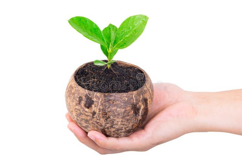 Main tenant le petit arbre vert dans la coquille de noix de coco sur le blanc photo libre de droits