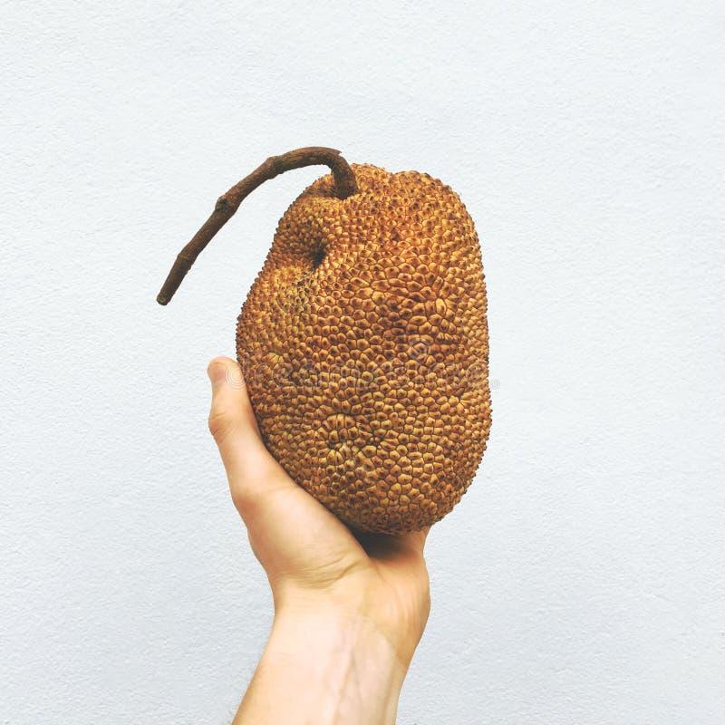 Main tenant le petit jacquier au fond blanc de mur Fruit asiatique doux exotique thailand images stock