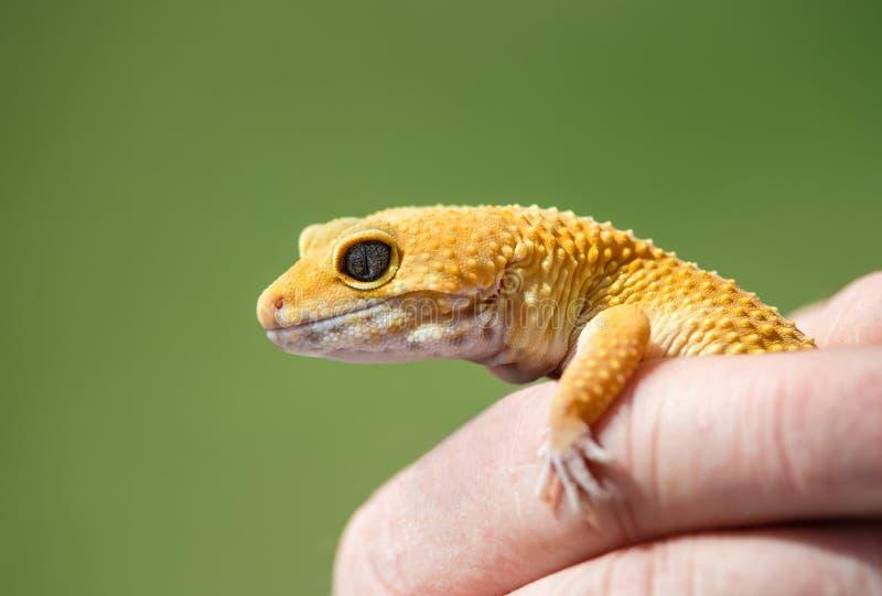 Main tenant un gecko jaune de léopard image libre de droits
