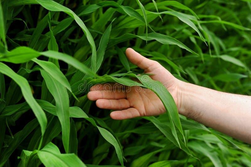 Main tenant une feuille de maïs photographie stock