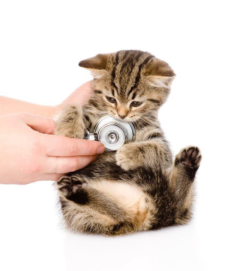 Main vétérinaire examinant un chaton écossais D'isolement sur le blanc images libres de droits