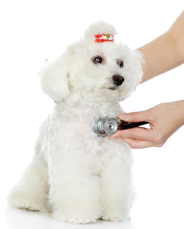 Main vétérinaire examinant un chien. image stock