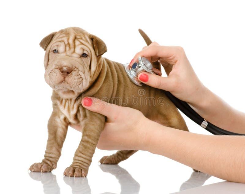 Main vétérinaire examinant un chiot de sharpei photos libres de droits