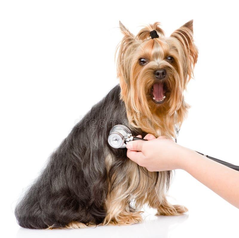 Main vétérinaire examinant un chiot Foyer sur la main image stock