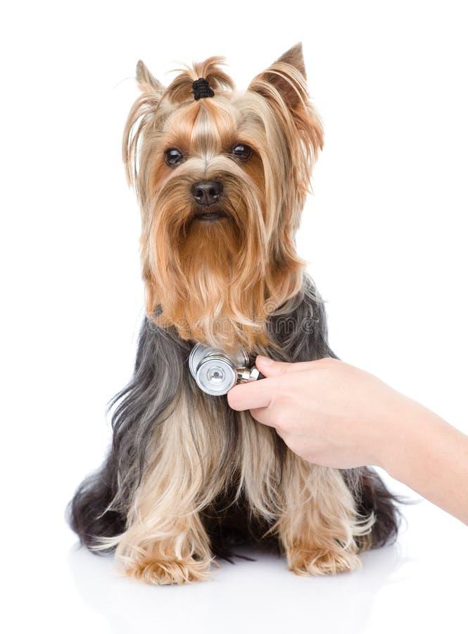 Main vétérinaire examinant un chiot Foyer sur la main D'isolement photo stock